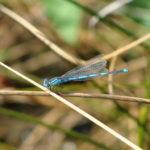 Parc de la Belle - Libellule bleue posée sur un brin d'herbe