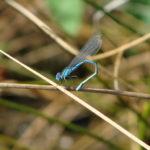 Parc de la Belle - Libellule bleue pliée sur un brin d'herbe