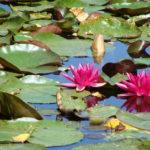 Parc de la Belle - Fleurs roses fuchsia de nénuphar en gros plan