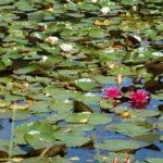 Parc de la Belle - Fleurs roses fuchsia de nénuphar