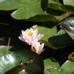 Parc de la Belle - Fleurs rose et blanche de nénuphar